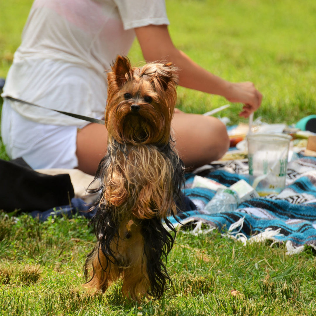 Dog picnic