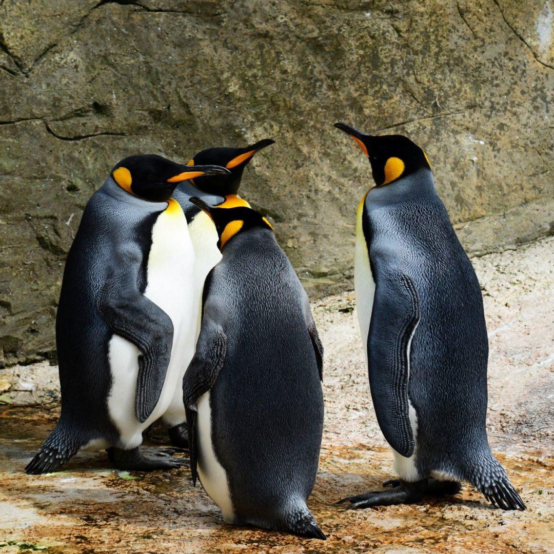 King Penguins2